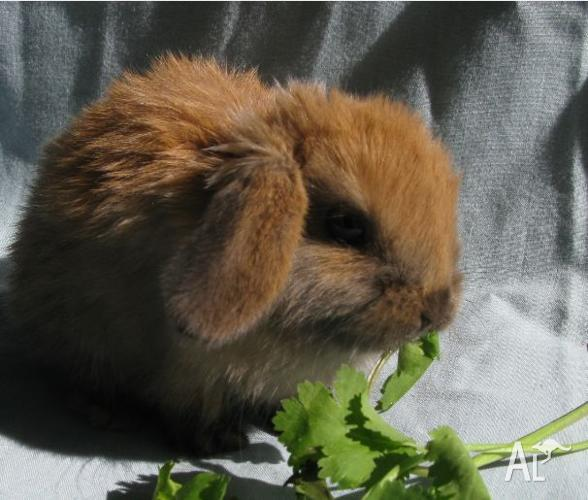 Beautiful, purebred mini lop doe for sale