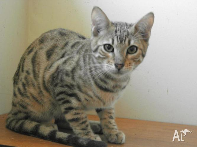 Bengal boy for sale