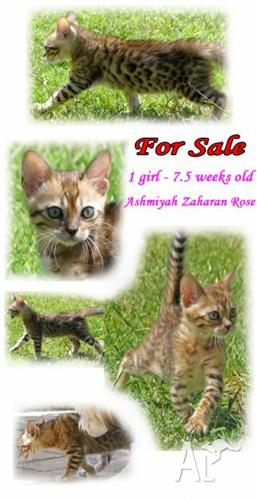 Bengal Cats For Sale South Australia