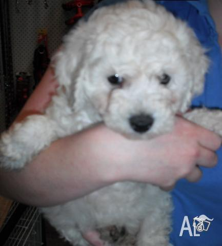 Bichon Frise Puppies Playing For Sale 19breeders | Dog Breeds Picture
