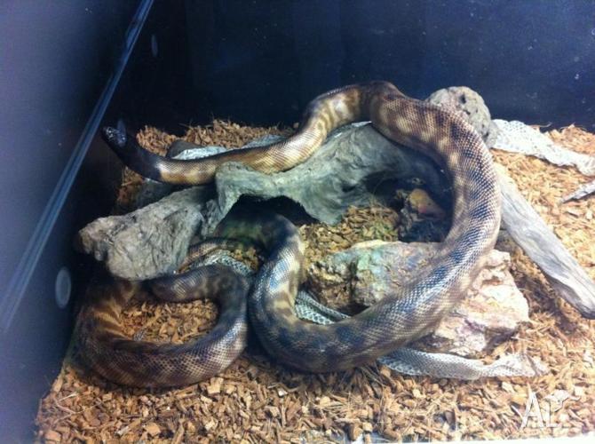 Black Headed Python Adult