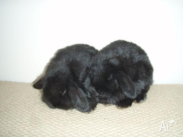 Black purebred male mini lop bunnies at 7 weeks
