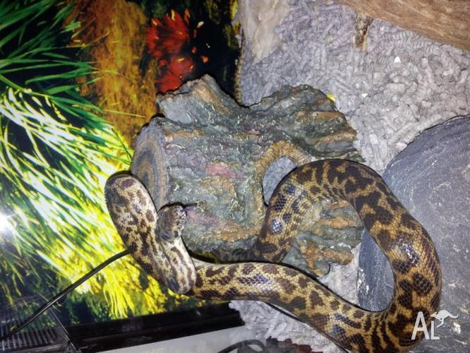 Blond spotted python, and terrarium