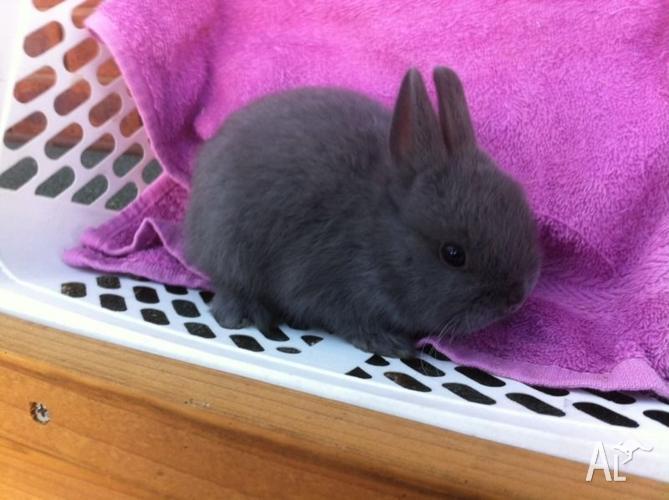 Blue buck Netherland dwarf rabbit!! Purebred with