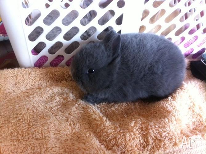 Blue buck nethie dwarf rabbit!! Purebred with