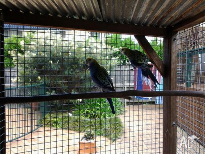 Blue Cheek Rosellas - Breeding Pair