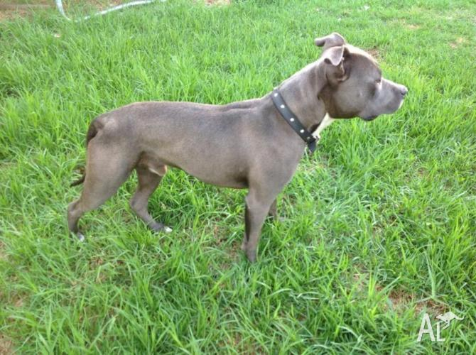 Blue Staffy For Sale : Blue fawn american staffy for sale in bidwill new south wales