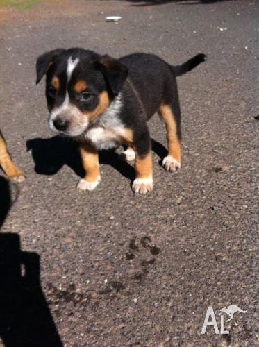 Blue Heeler Cross English Staffy Puppies For Sale For Sale