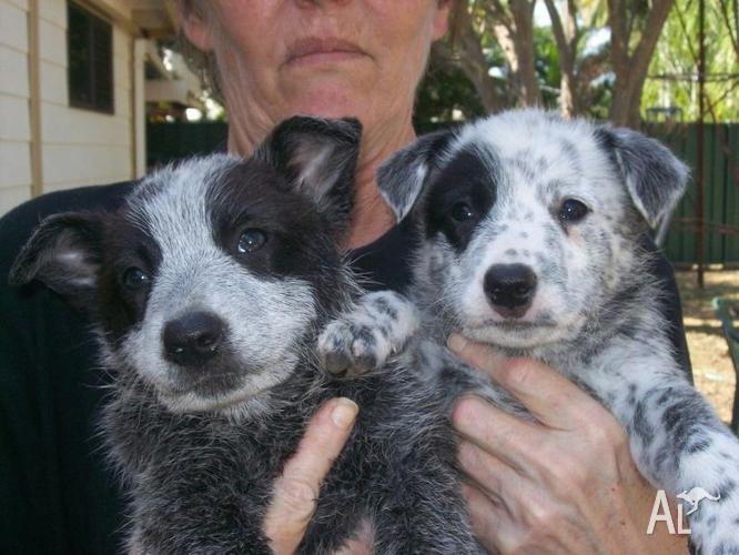 Blue Heelers For Sale : Blue heeler puppies for sale in condon queensland classified