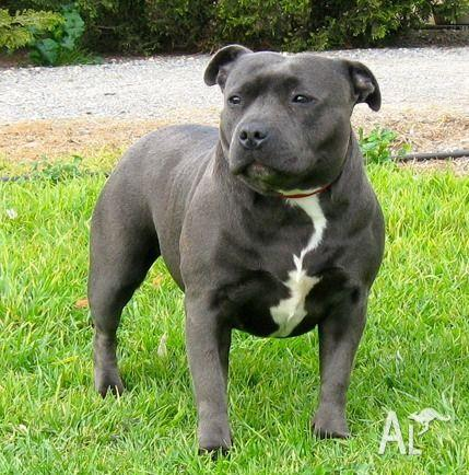 blue staffy puppies for sale in oaklands junction