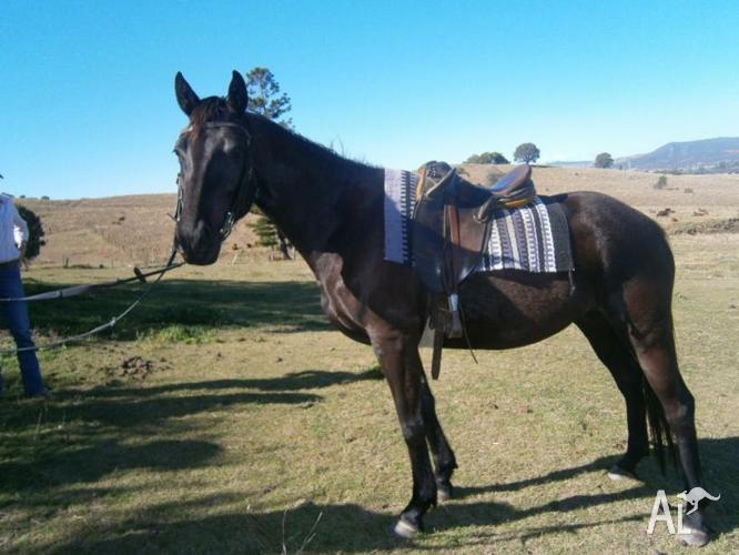 Blue Thoroughbred x stockhorse