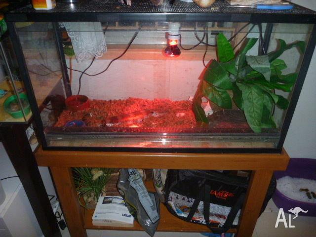 Blue Tingue Lizard and tank set up