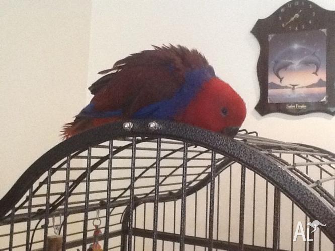 Bonded pair eclectus parrots