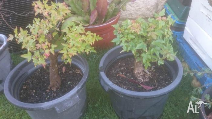 Bonsai Root Stock 12-15yrs