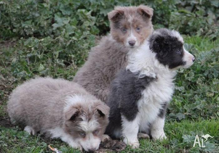 Border Collie puppies for Sale in MOUNT VINCENT, New South Wales