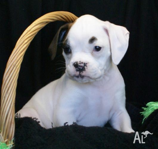 Boxer puppies for sale. in ROCKHAMPTON, Queensland for sale