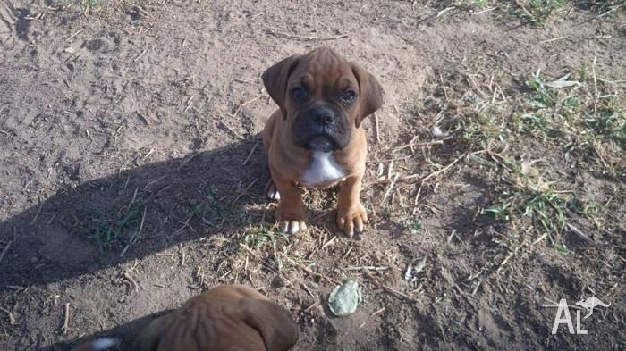 boxer pups for sale for Sale in EMERALD, Queensland ...