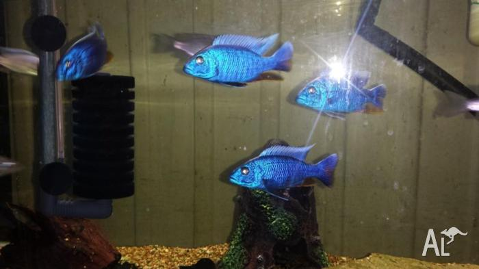 breeding colony of electric blues