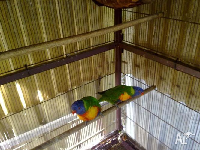 Breeding pair rainbow lorrikeet