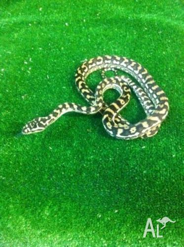 Brisbane Carpet Python