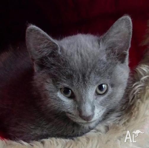 british blue x female kitten