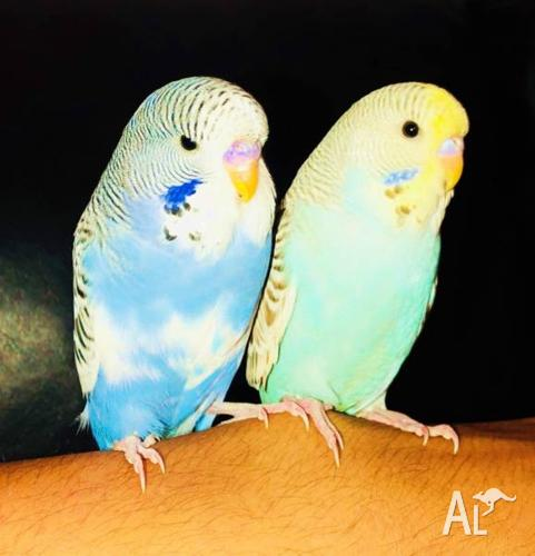 Budgie Baby Club Tame Dominate Pied Bert