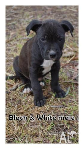 Bull mastiff x American Staffy puppies for Sale in ATKINSONS