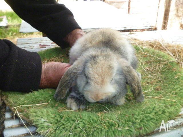 Bunnies Dwarf Lop