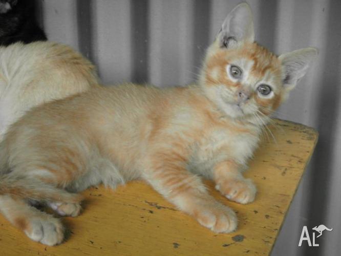 Burmese (class clown) kitten