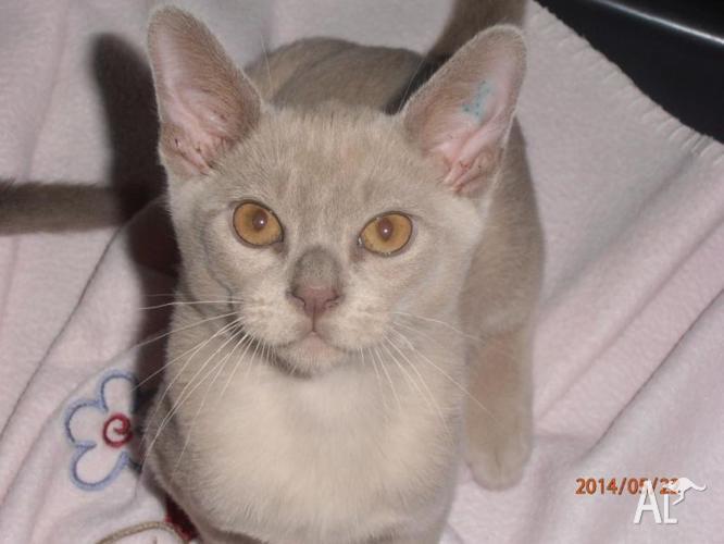 Burmese Kittens For Sale In Gosnells Western Australia Classified Australialisted Com