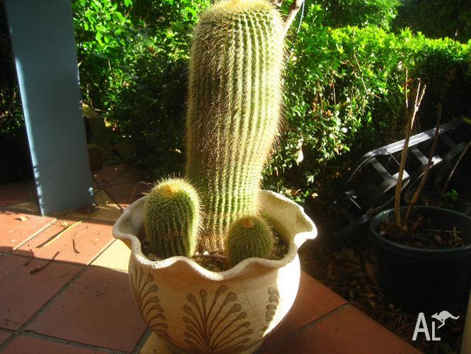 Cactus trichocereus spachianus in terracotta round pot Cactus pots for sale