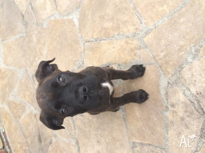 Cane corso brindle puppy for sale