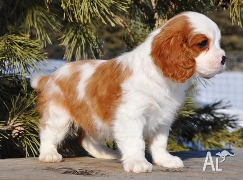 Cavalier King Charles Spaniel puppies for sale for Sale in SYDNEY