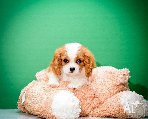 Cavalier King Charles Spaniel Puppy.