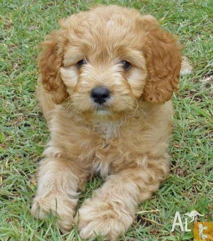 Cavoodle Puppies on Cavoodle  Poodle X Cavalier  Puppies For Sale In Doonside  New South