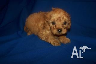Cavoodle Puppies on Cavoodle Puppies For Sale In Sydney  New South Wales Classified