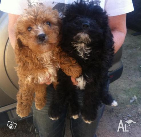 Cavoodle Puppies on Cavoodle Puppies For Sale In Smiths Gully  Victoria Classified