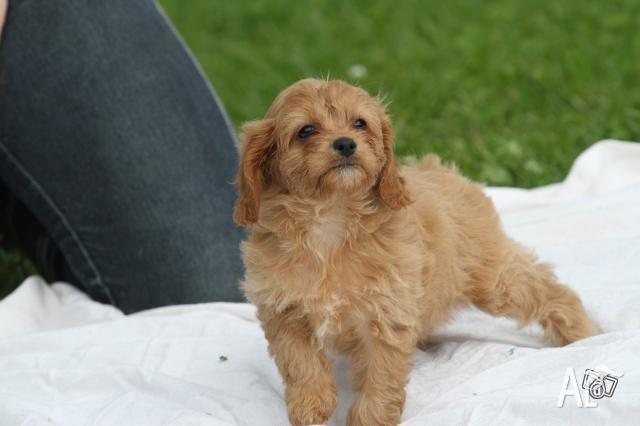 Cavoodle Puppies, gorgeous, 9 weeks old