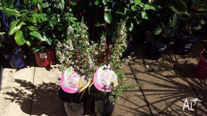 Chamelaucium Sweet Rosie