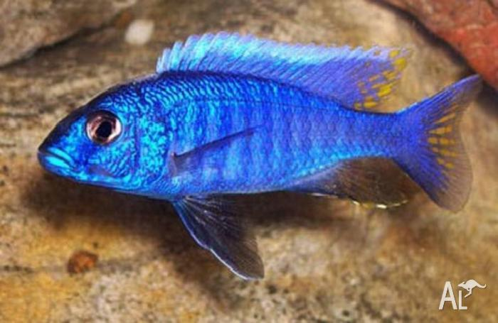 cichlids for sale and fish supplies great prices for Sale in