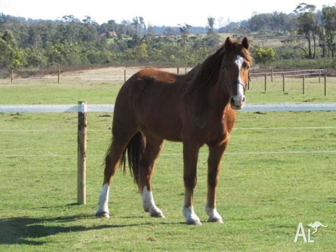 Clydie x Project Horse chestnut gelding Clydesdale x