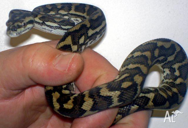 Coastal Carpet Python - Morelia Spilota McDowelli