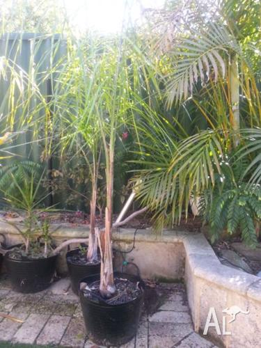 COCOS PALMS, IN TUBS X 3