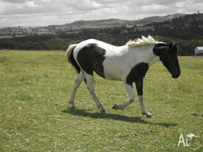Coloured colt for sale