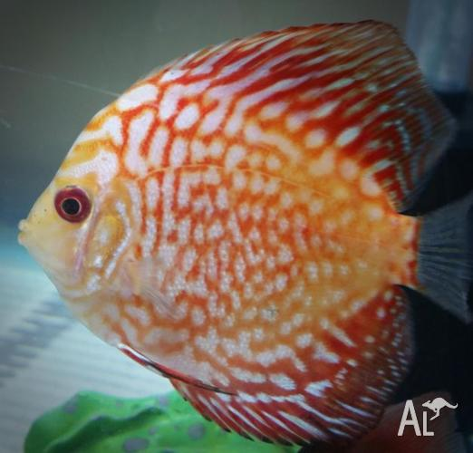 colourful little tropical discus fish for Sale in HIGHBURY, South