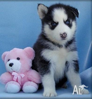 Puppies  Adoption on Cute And Adorable Husky Puppies For Adoption In Abbeywood  Queensland