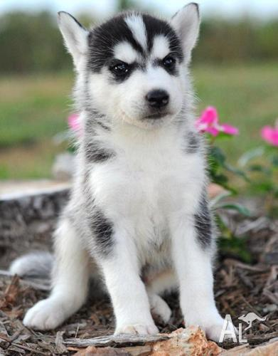 Cute Home Raise Male and Female Siberian Husky Puppies for ...