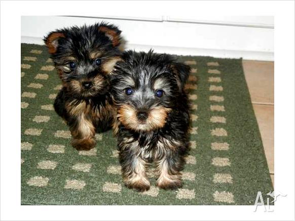 Free puppies qld