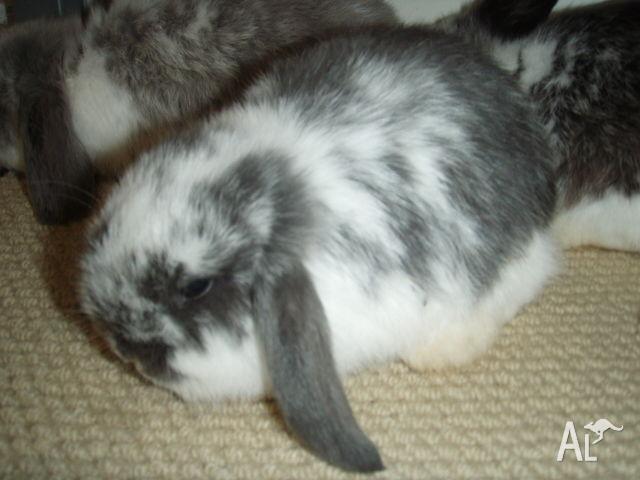 Cute purebred baby mini lop bunnies at 7 weeks