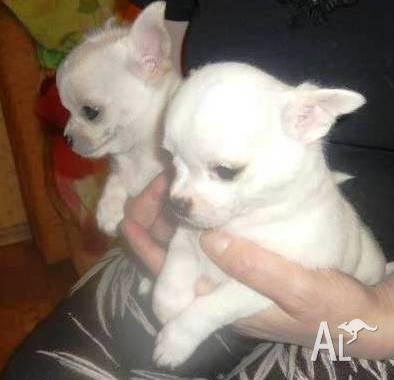 Cute White Chihuahua Puppies For Sale In North Bondi New South